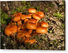Jack Olantern Mushrooms 24 Acrylic Print by Douglas Barnett