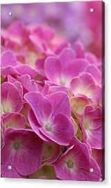 Japan, Kanagawa Prefecture, Sagamihara City, Close-up Of Pink Flowers Acrylic Print by Imagewerks