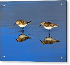 Juvenile White-rumped Sandpipers Acrylic Print by Tony Beck