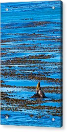 Kelp And Sea Lion Acrylic Print by Adam Pender