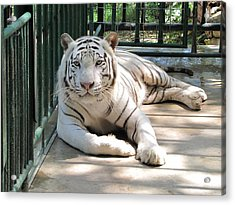 Kimar The White Tiger Acrylic Print by Keith Stokes