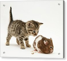 Kitten And Hamster Acrylic Print by Jane Burton