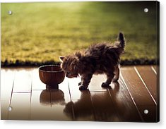 Kitten Investigating Miso Soup Bowl Acrylic Print by Benjamin Torode