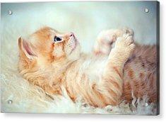 Kitten Lying On Its Back Acrylic Print by Susan.k.