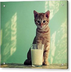 Kitten With Glass Of Milk Acrylic Print by By Julie Mcinnes