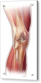 Knee Anatomy Acrylic Print by John M Daugherty and Photo Researchers