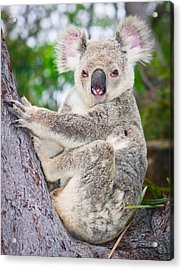 Koala  Acrylic Print by Johan Larson