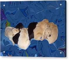Lab Pups 1 Acrylic Print by Aimee L Maher Photography and Art Visit ALMGallerydotcom