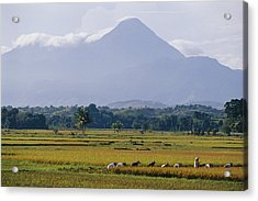 Laborers In A Rice Field Work Acrylic Print by Steve Raymer