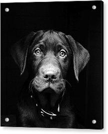 Labrador Puppy Acrylic Print by Www.timmygambin.com