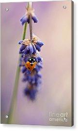 Ladybird And Lavender Acrylic Print by John Edwards