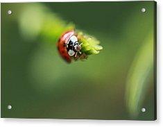 Ladybug 2 Acrylic Print by Pan Orsatti