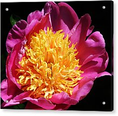 Large Pink Peony Acrylic Print by Bruce Bley