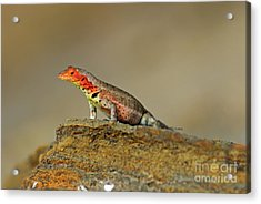 Lava Lizard Acrylic Print by Sami Sarkis