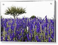Lavender Field Acrylic Print by Lisa  Spencer