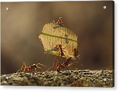 Leafcutter Ant Atta Sp Group Carrying Acrylic Print by Cyril Ruoso