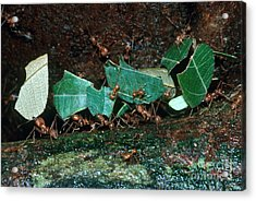 Leafcutter Ants Acrylic Print by Gregory G. Dimijian