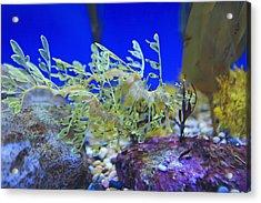 Leafy Seadragon Phycodurus Eques At The Acrylic Print by Stuart Westmorland