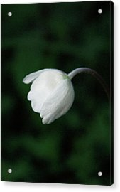 Leaning Anemone Acrylic Print by JC Photography and Art