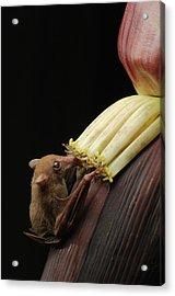 Lesser Long-tongued Fruit Bat Acrylic Print by Ch'ien Lee