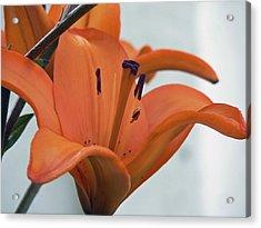 Liliaceae Orange  Acrylic Print by Pamela Patch
