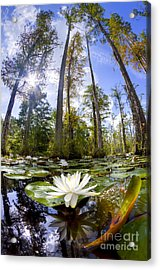 Lily Pad Flower In Cypress Swamp Forest Acrylic Print by Dustin K Ryan