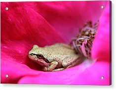 Little Frog In A Red Rose Flower Acrylic Print by Jennie Marie Schell