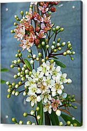 Little Star Like Buds Acrylic Print by Steve Taylor Photography