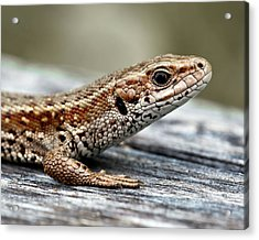 Lizard Acrylic Print by Svein Nordrum