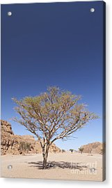 Lone Acacia Tree In The Sinai Desert Acrylic Print by Roberto Morgenthaler