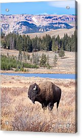 Lone Buffalo Acrylic Print by Cindy Singleton