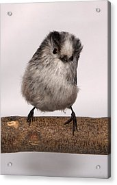 Long-tailed Tit Acrylic Print by Les Stocker