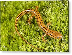 Longtail Salamander Eurycea Longicauda Acrylic Print by Jack Goldfarb