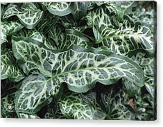 Lords And Ladies (arum Italicum 'pictum') Acrylic Print by Archie Young