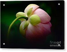 Lotus Sepals Acrylic Print by Susan Isakson