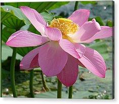 Lotus  Acrylic Print by Susan McNamara