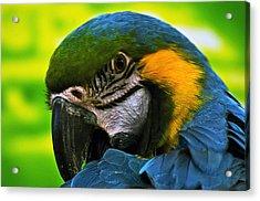 Macaw Acrylic Print by Cheryl Cencich