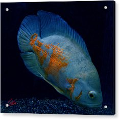 Magic Fish Name Oscar  Acrylic Print by Colette V Hera  Guggenheim