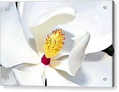 Magnolia Bloom Acrylic Print by Susan Leggett