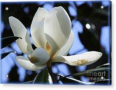 Magnolia In Blue Acrylic Print by Carol Groenen