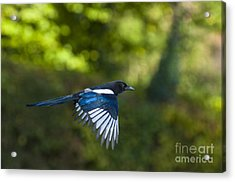 Magpie Acrylic Print by Andrew  Michael