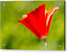 Mahogany California Poppy I Acrylic Print by Heidi Smith