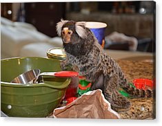 Making Cookies Chewy The Marmoset Acrylic Print by Barry R Jones Jr