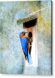 Male Eastern Bluebird At Nesting Box Acrylic Print by Jai Johnson