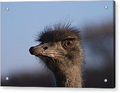 Male Ostrich Namibia Acrylic Print by David Kleinsasser