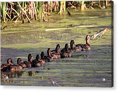 Mallard Ducks In A Row Acrylic Print by Travis Truelove