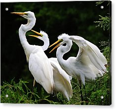 Mama Egrets With Her Babies Acrylic Print by Paulette Thomas