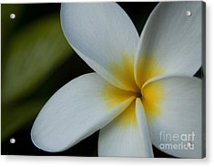 Mana I Ka Lani - Tropical Plumeria Hawaii Acrylic Print by Sharon Mau