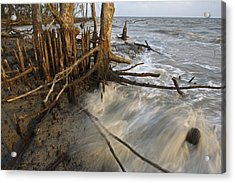 Mangrove Trees Protect The Coast Acrylic Print by Tim Laman