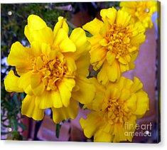 Marigold 3 Acrylic Print by Alys Caviness-Gober